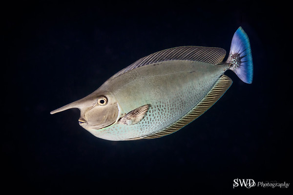 Spotted Unicornfish