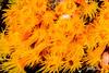 Ahermatypic Cup Coral