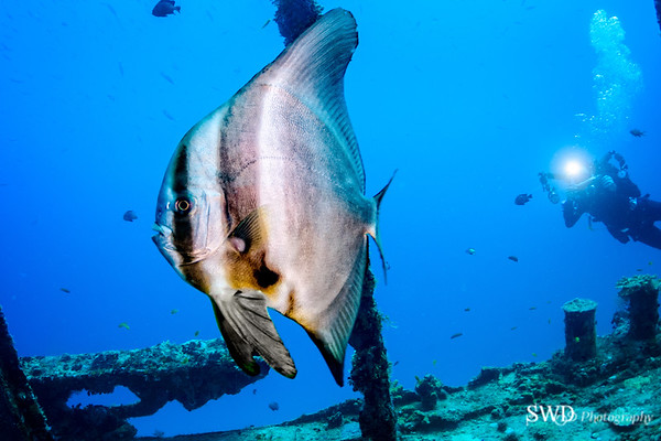 Longfin Spadefish and Diver