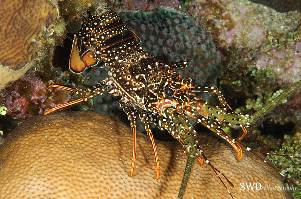 Spotted Spiny Lobster