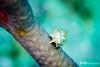Hermit Crab - Juvenile