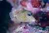 Spotted Trunkfish