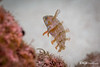 Green Razorfish - Juvenile