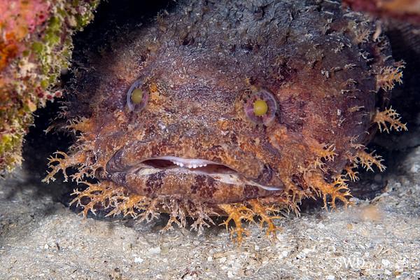 Large-eye Toadfish