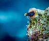 Secretary Blenny