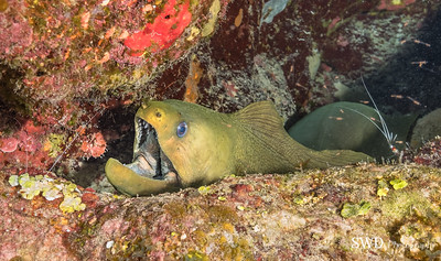 Green Moray Being Cleaned