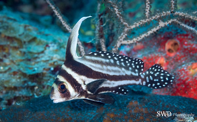 Spotted Drum Fish