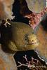 Goldentail Eel
