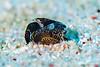 Snowy Headshield Slug