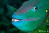 Parrotfish Portrait