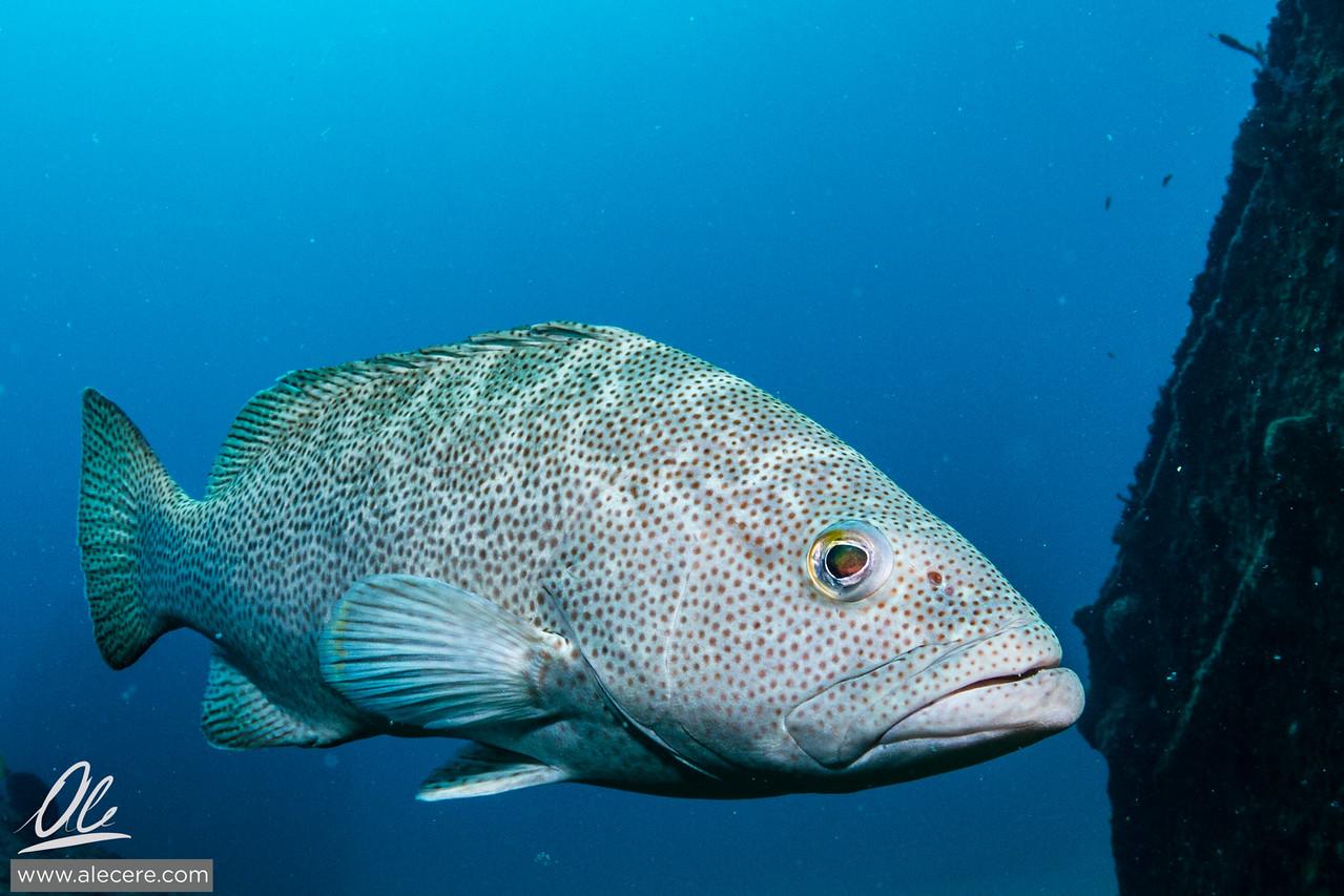 A large grouper en el Vencedor