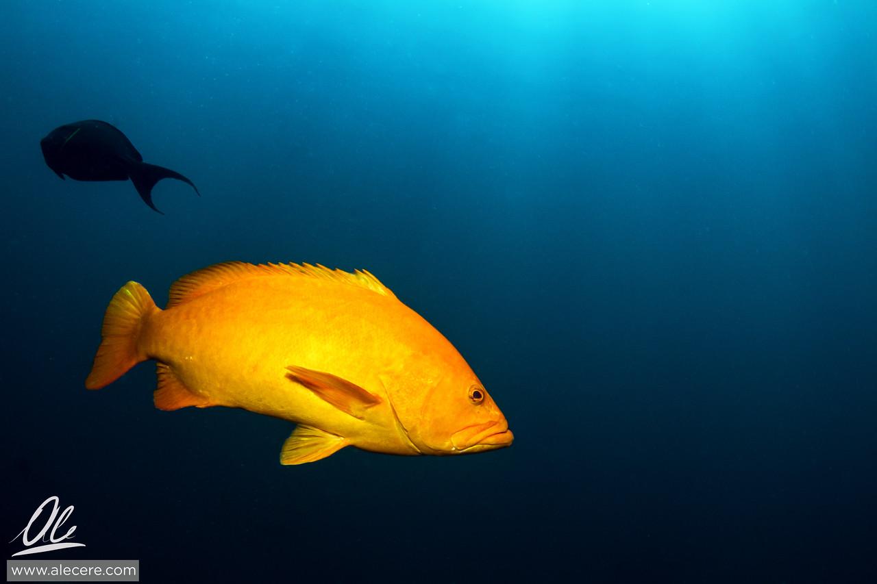 Golden grouper