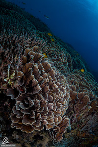 Sea of Corals