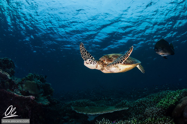No boundaries - The flight of the green turtle