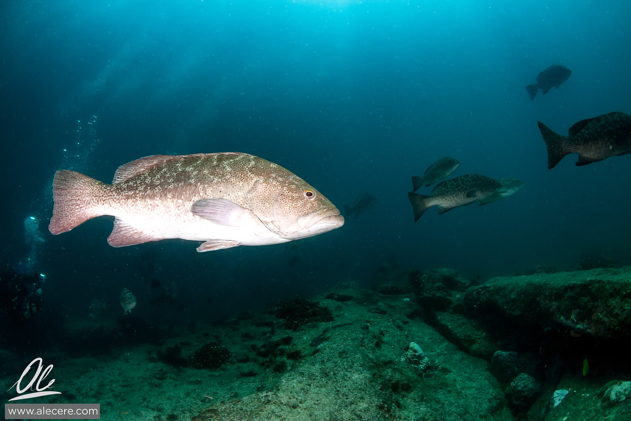 Colllection of groupers