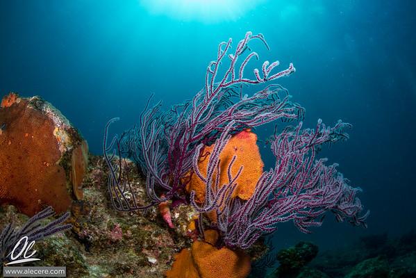 Corals of California