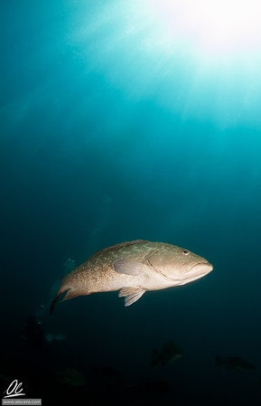 Portrait of gulf grouper
