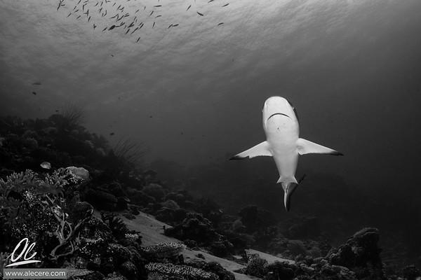 Plenty of sharks in Palau, mostly shy ones