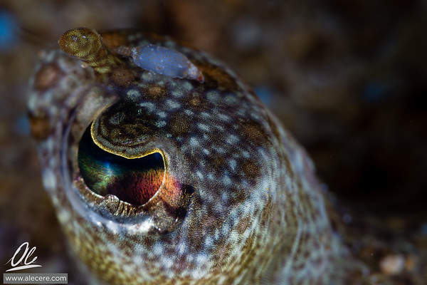 Eye of the flounder (and parassite)