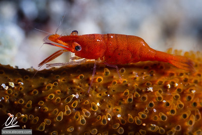 Shrimpy on the sponge