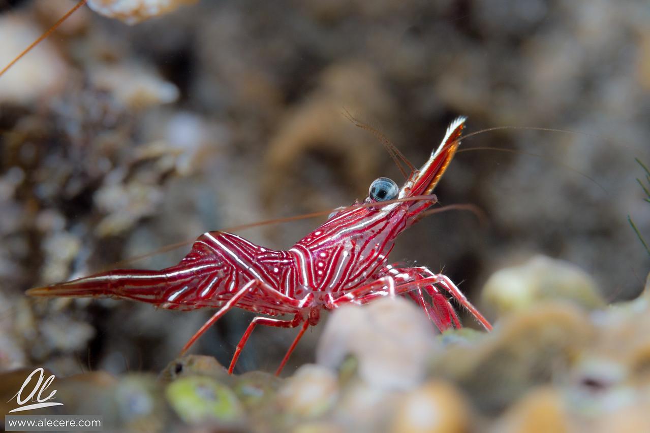 Proud shrimp