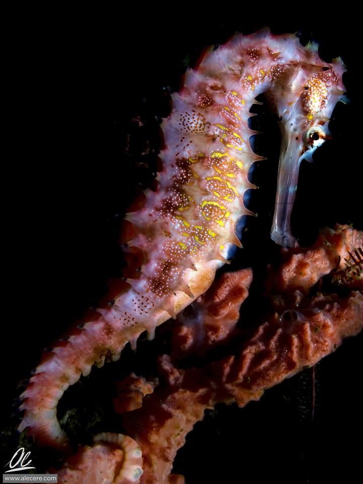 Posing seahorse