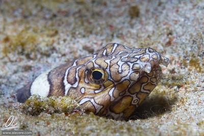 Cautiouts Snake Eel