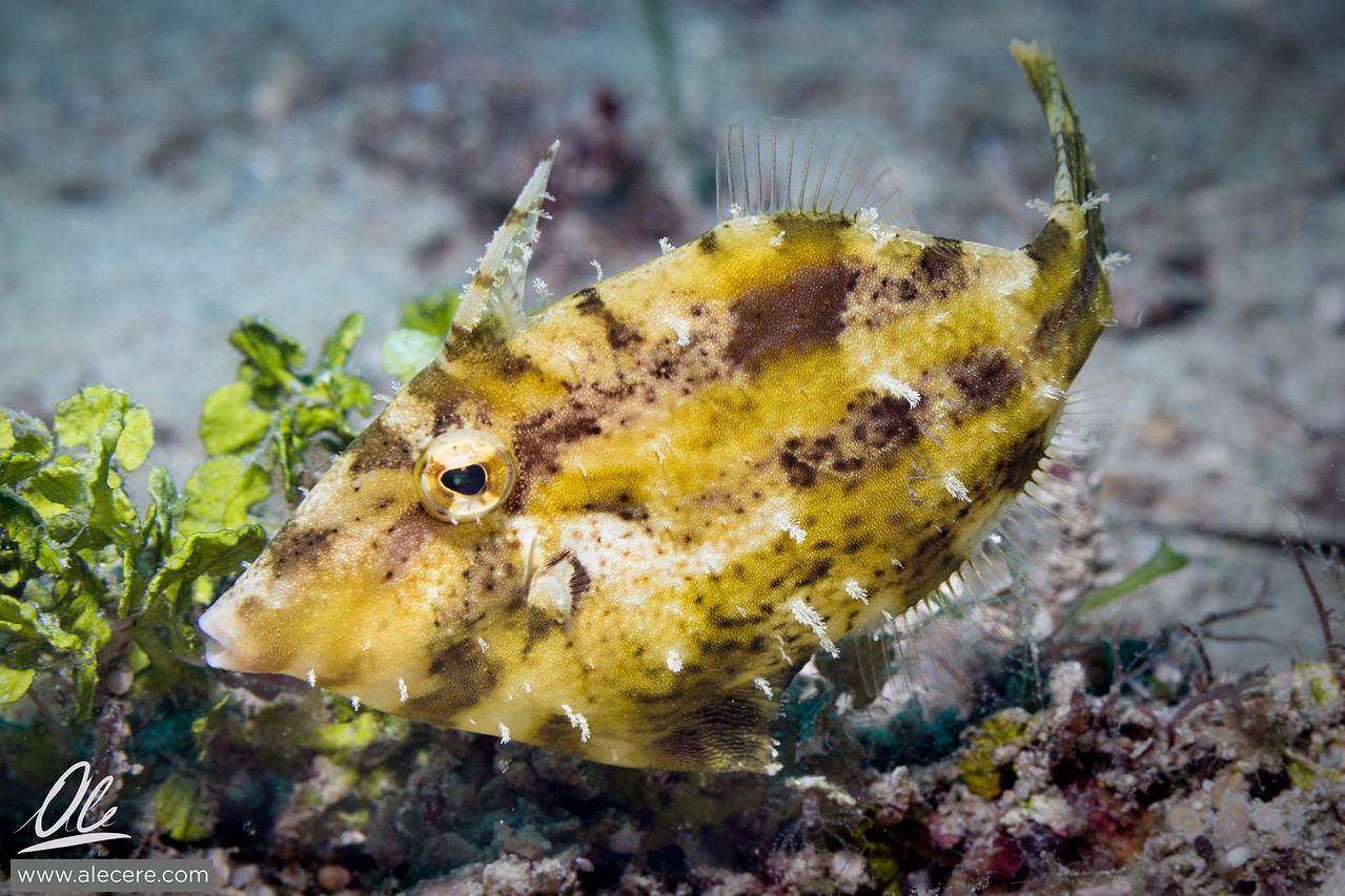 Feeding Filefish