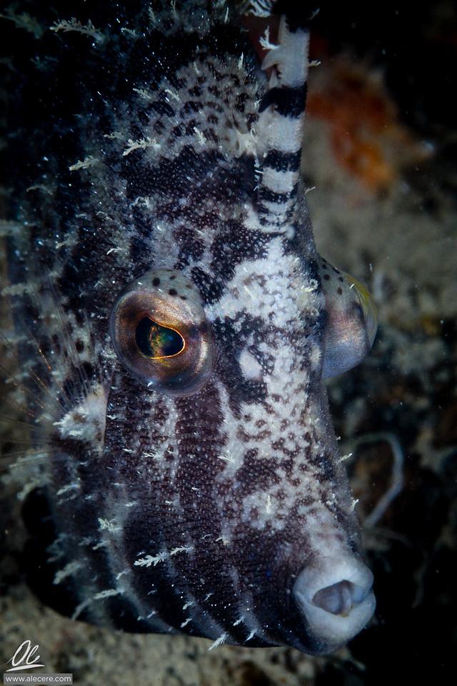 Shy filefish