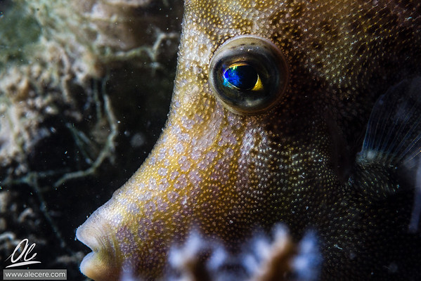 Close portrait of a filefish
