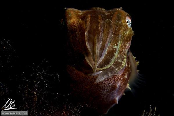 Cuttlefish, a portrait