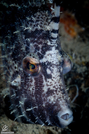 Shy filefish