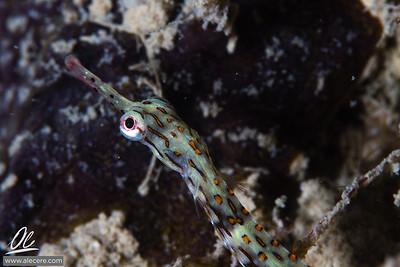 Skipping pipefish
