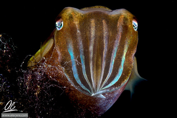 Cuttlefish, front