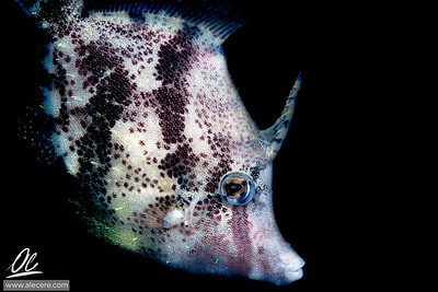 Filefish, a portrait