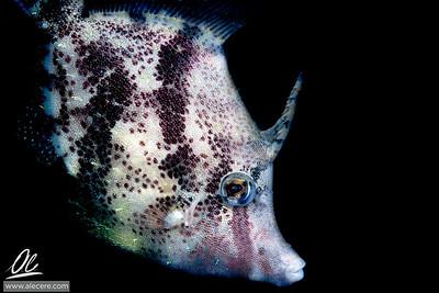 Filefish, a portrait