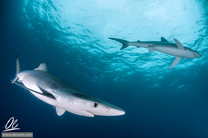 Two blue sharks