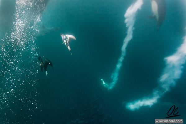 Gannet in action Scenes from the sardine run
