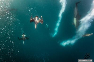 Gannet in action