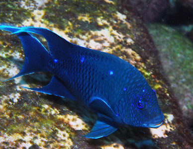 Loreto 2008 - Damselfish