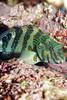 hawkfish
