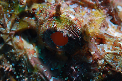Loreto 2008 - Scorpionfishes
