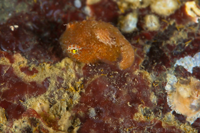 Pacific Spiny Lumpsucker - Strawberry Island in San Juan Islands, Washington