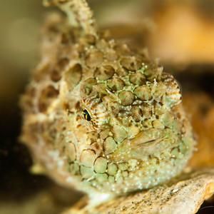 Pacific Spiny Lumpsucker - Redondo in Des Moines, Washington