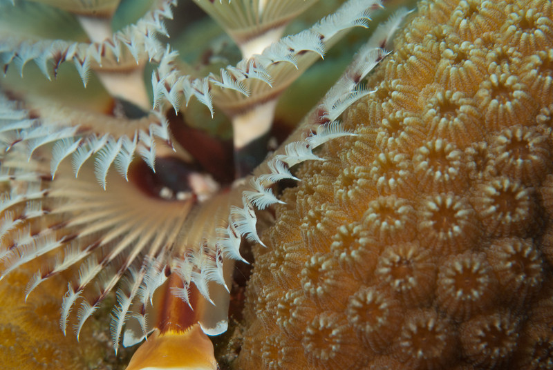 Christmas Tree Worm Detail