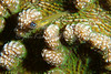 Peppermint Goby on Knobby Cactus Coral - published in NANPA Expressions 2010 Members Showcase Competition