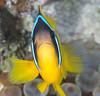 Red Sea anemonefish (Amphiprion bicinctus).