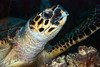 Hawksbill turtle.