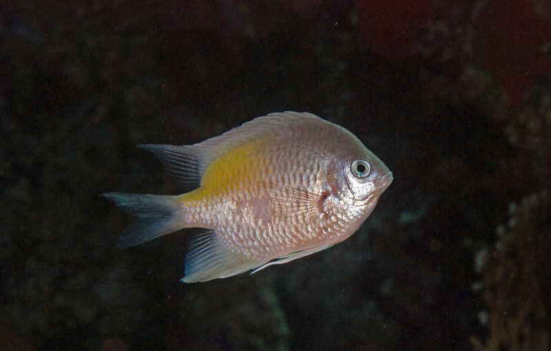White-belly damsel (Amblyglyphidodon leucogaster).
