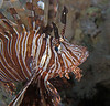 Common lionfish (Pterois volitans).